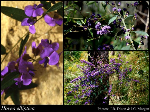 Photo of Hovea elliptica (Sm.) DC.