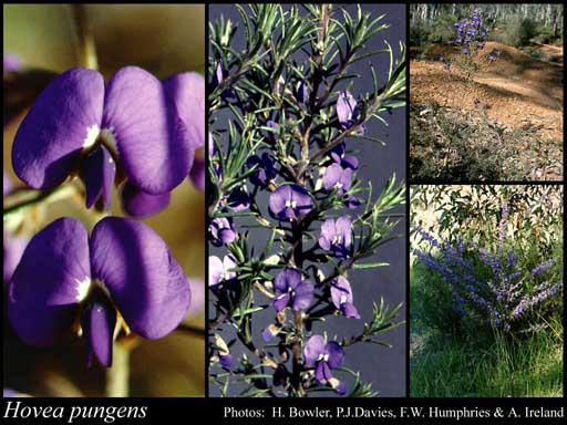 Photo of Hovea pungens Benth.