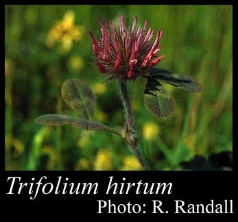 Photo of Trifolium hirtum All.