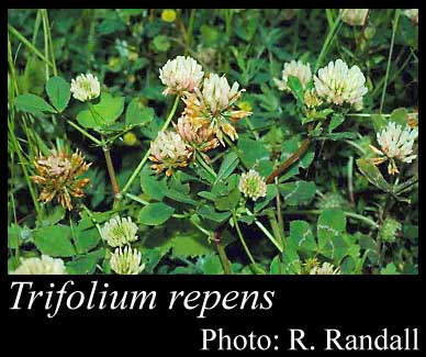 Photo of Trifolium repens L.