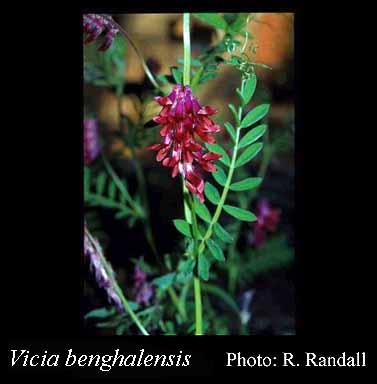 Photo of Vicia benghalensis L.