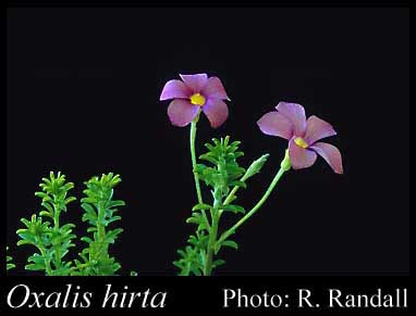 Photo of Oxalis hirta L.