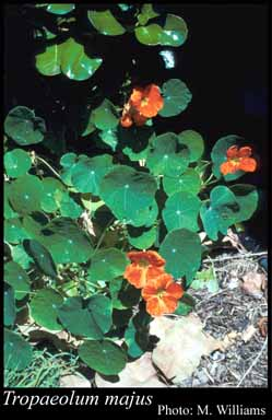Photo of Tropaeolum majus L.
