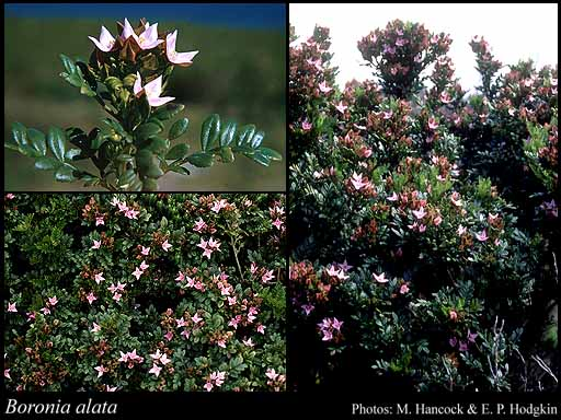 Photo of Boronia alata Sm.