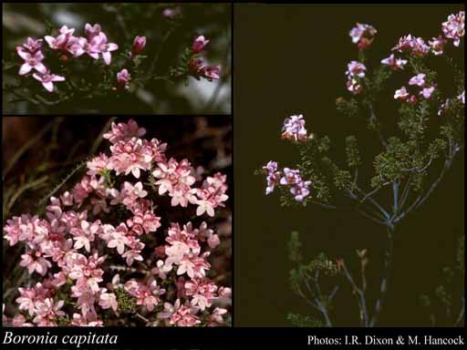 Photo of Boronia capitata Benth.