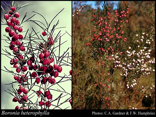 Photo of Boronia heterophylla F.Muell.