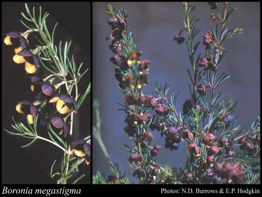Photo of Boronia megastigma Bartl.