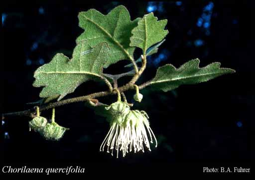 Photo of Chorilaena quercifolia Endl.