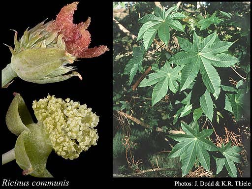 Photo of Ricinus communis L.