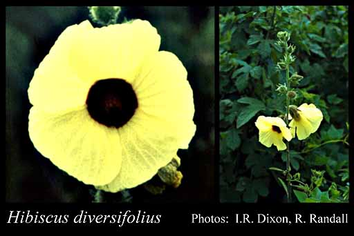 Photo of Hibiscus diversifolius Jacq.