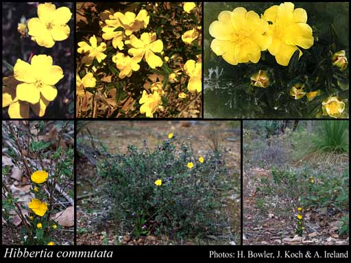 Photo of Hibbertia commutata Steud.