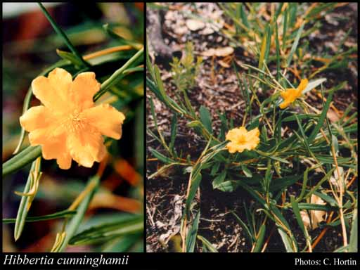 Photo of Hibbertia cunninghamii Hook.