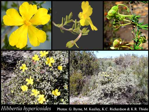 Photo of Hibbertia hypericoides (DC.) Benth.