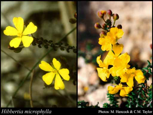 Photo of Hibbertia microphylla Steud.