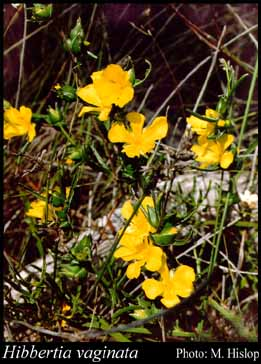 Photo of Hibbertia vaginata (Benth.) F.Muell.