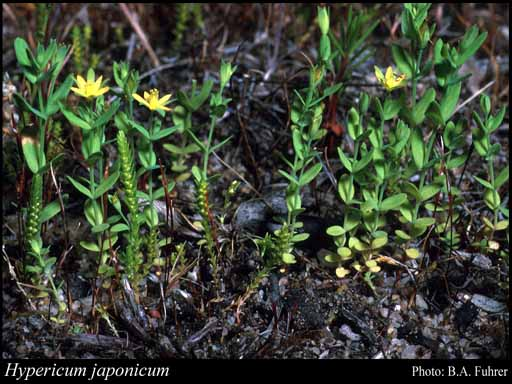 Photo of Hypericum japonicum Thunb.