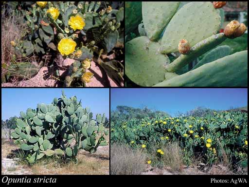 Photo of Opuntia stricta (Haw.) Haw.