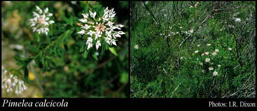 Photo of Pimelea calcicola Rye