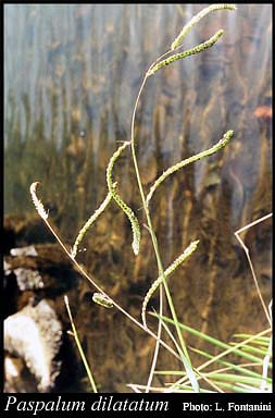 Photo of Paspalum dilatatum Poir.