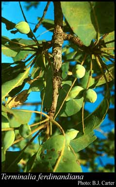 Photo of Terminalia ferdinandiana Exell