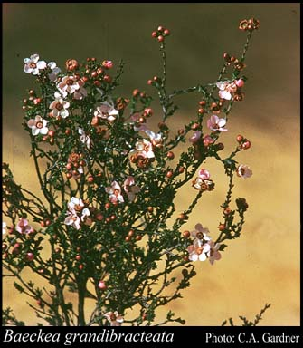 Photo of Baeckea grandibracteata E.Pritz.