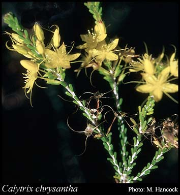 Photo of Calytrix chrysantha Craven