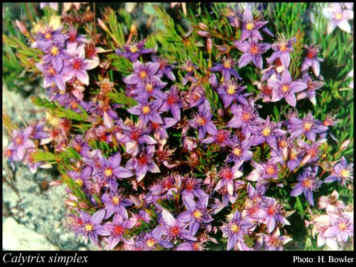 Photo of Calytrix simplex Lindl.