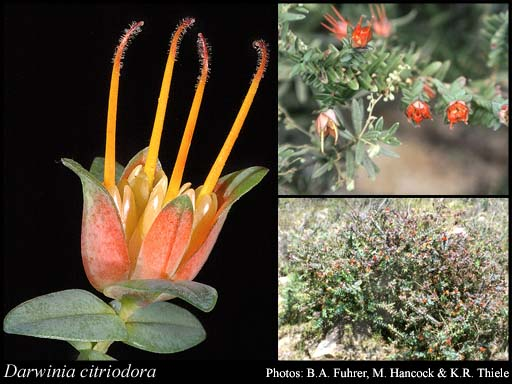 Photo of Darwinia citriodora (Endl.) Benth.