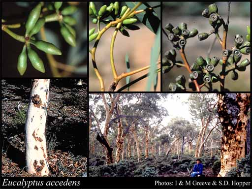 Photo of Eucalyptus accedens W.Fitzg.