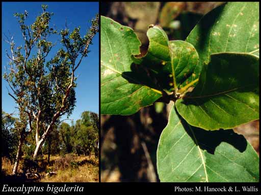 Photo of Eucalyptus bigalerita F.Muell.