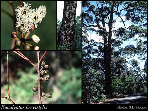 Photo of Eucalyptus brevistylis Brooker