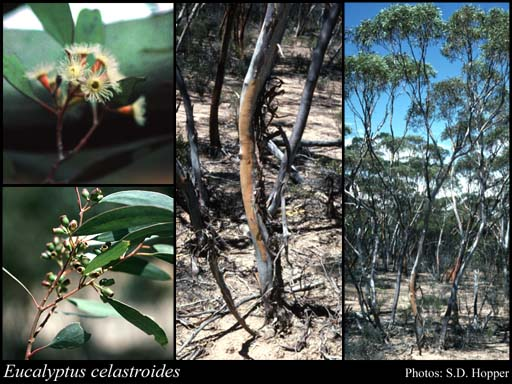 Photo of Eucalyptus celastroides Turcz.