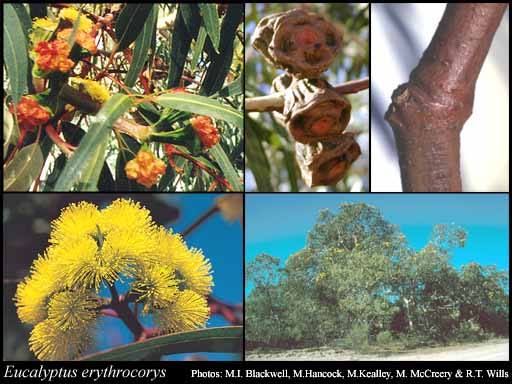 Photo of Eucalyptus erythrocorys F.Muell.