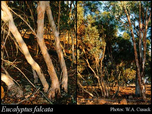 Photo of Eucalyptus falcata Turcz.