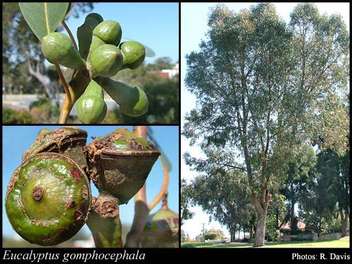 Photo of Eucalyptus gomphocephala DC.