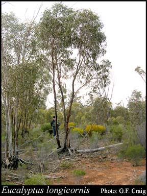 Photo of Eucalyptus longicornis (F.Muell.) Maiden