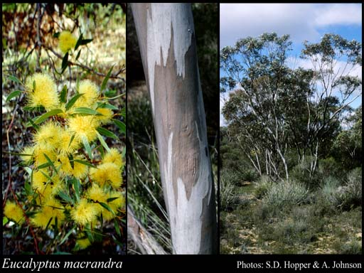 Photo of Eucalyptus macrandra Benth.