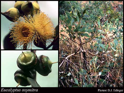 Photo of Eucalyptus oxymitra Blakely