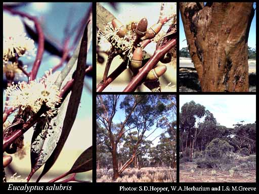Photo of Eucalyptus salubris F.Muell.