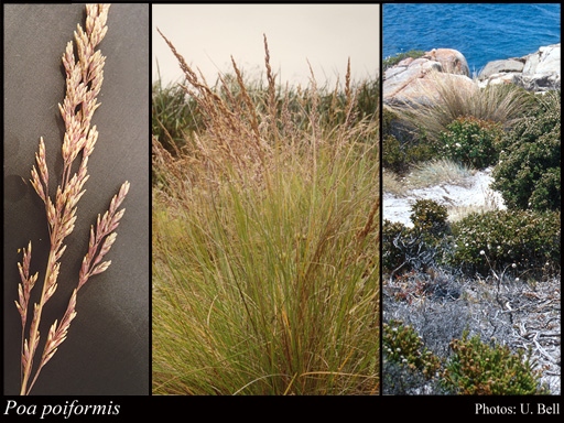 poa poiformis  labill   druce  florabase  flora of western australia