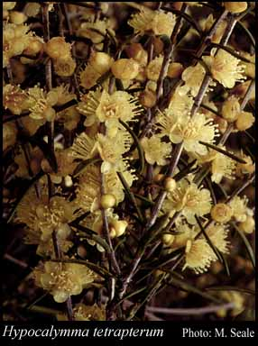 Photo of Hypocalymma tetrapterum Turcz.