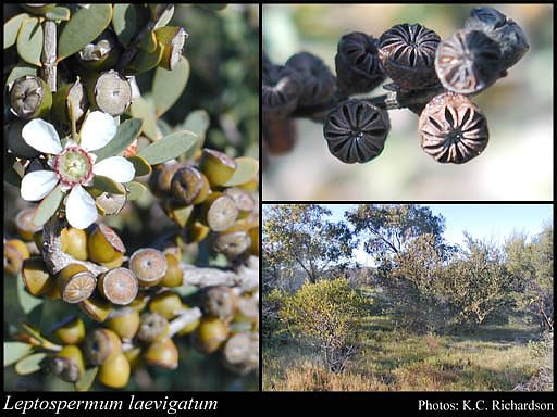 Photo of Leptospermum laevigatum (Gaertn.) F.Muell.