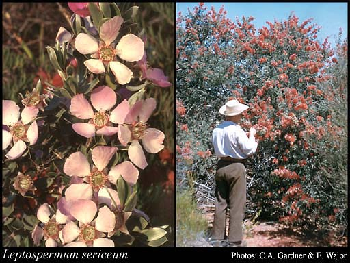 Photo of Leptospermum sericeum Labill.
