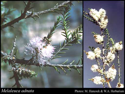 Photo of Melaleuca adnata Turcz.