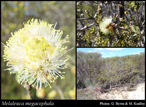 Photo of Melaleuca megacephala F.Muell.