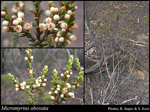 Photo of Micromyrtus obovata (Turcz.) J.W.Green
