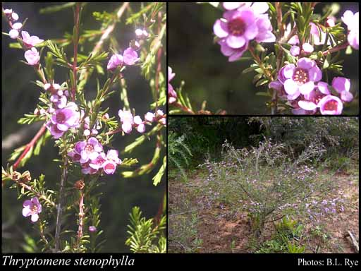 Photo of Thryptomene stenophylla E.Pritz.