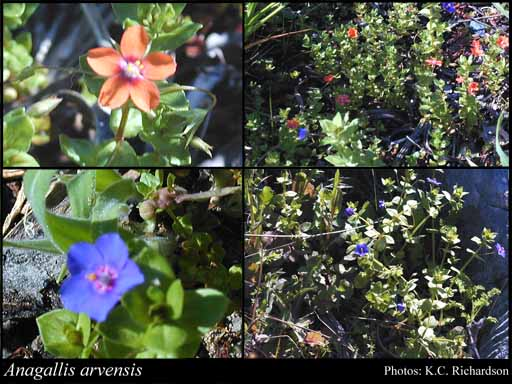 Photo of Anagallis arvensis L.