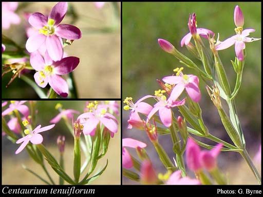 Photo of Centaurium tenuiflorum (Hoffmanns. & Link) Fritsch