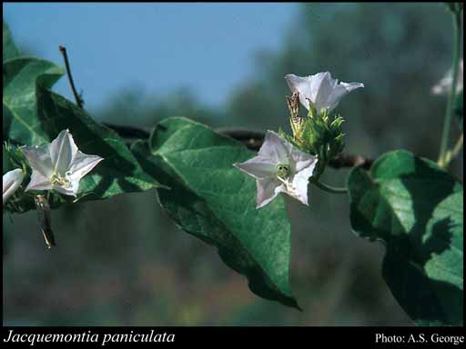 Photo of Jacquemontia paniculata (Burm.f.) Hallier f.